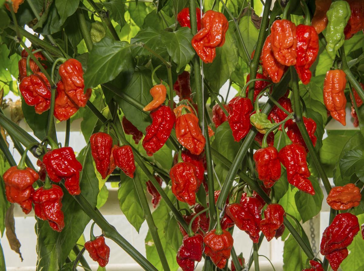 Chili Tulisuus