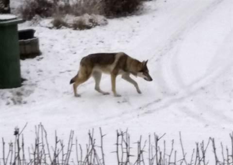 Kuvassa sunnuntaina Itäharjun alueella liikkunut sutta muistuttava koira.
