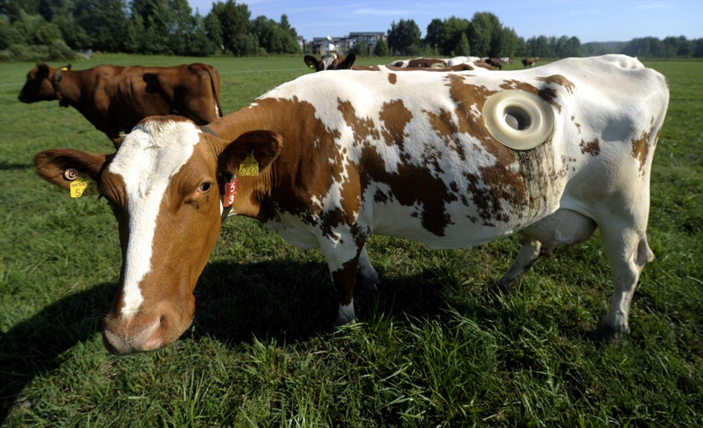 Lehmän Mahat