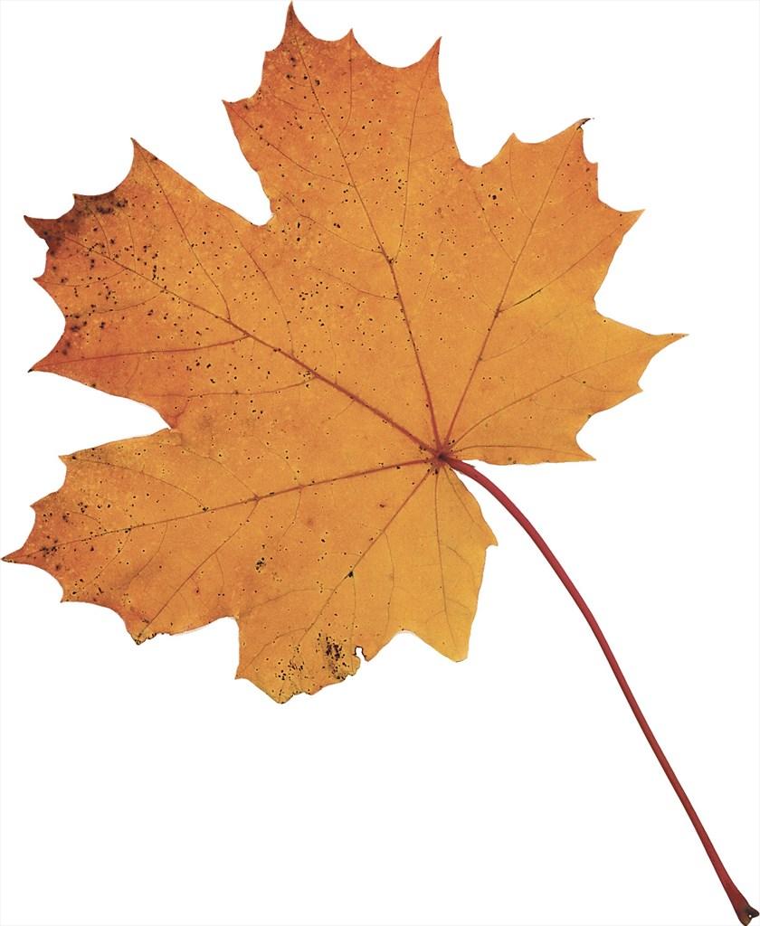 Puun lehdet